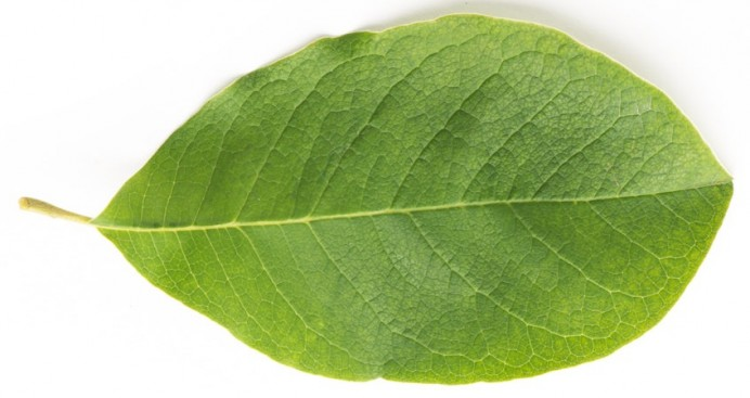 magnoliaLeaf