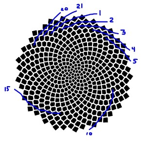 And choosing a very shallow slope, the blue lines show 21 spirals of seeds.