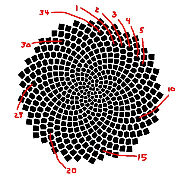 The red lines show 34 spirals of seeds.